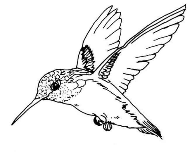 10 Best Free Printable Hummingbird Coloring Pages For Kids
